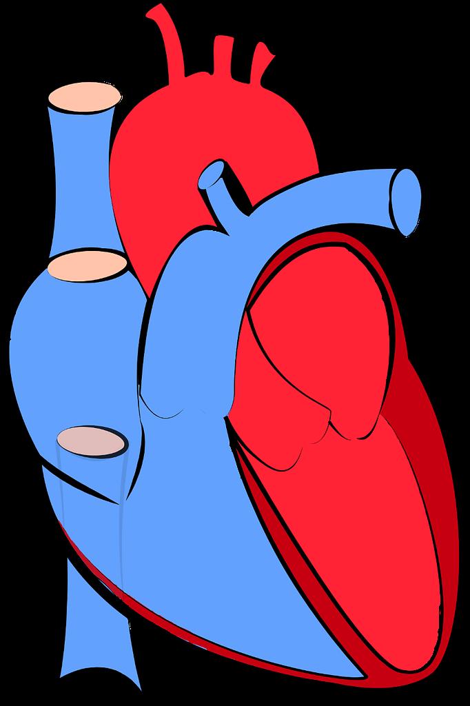 coeur yoga anatomie